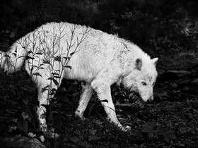 STILLER UT: Bildet heter «Untitled 22», USA 2012. Det er arkiveringsblekk på bomullspapir. - Dette er en stor, ensom ulv jeg har kommet tilbake til flere ganger i USA. På blikket til ulven kan man ane at her er det mer enn bare et farlig dyr i skogen, men faktisk noe mer sårbart og lengtende. Bildene i serien speiler alle skyggesider, eller ting vi ikke deler så lett i samfunnet. Aggresjon, begjær, sosialt hierarki, ensomhet og frykt er andre typer språk jeg har jobbet fram i uttrykkene, ...