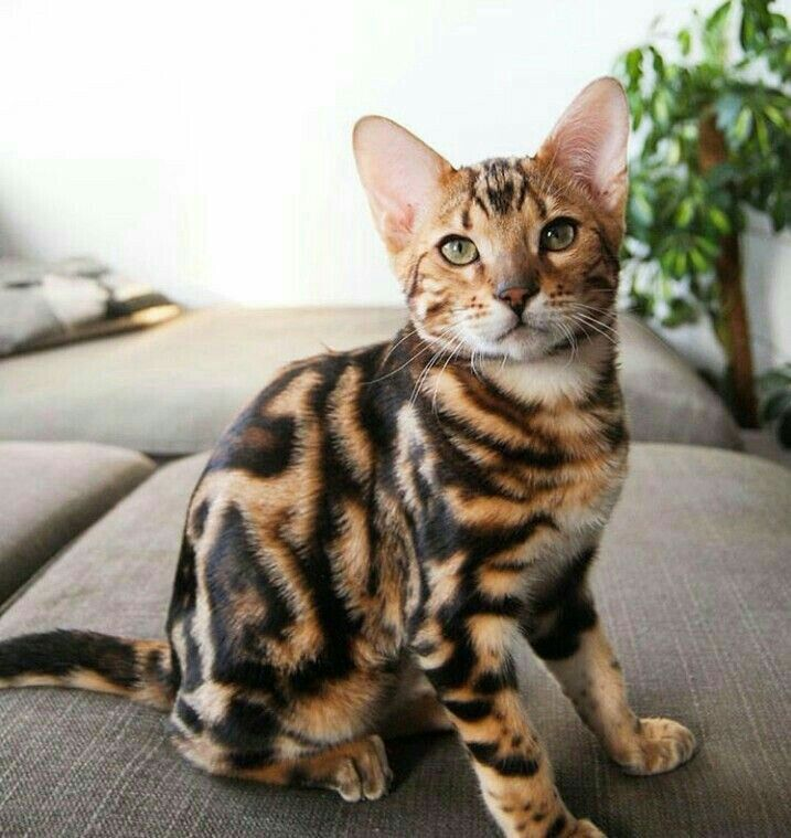 A Belgian Bengal Cat Whose Deep Green Eyes And Unique Markings