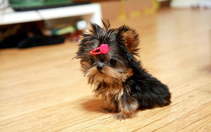 teacup puppies | Gorgeous Micro Teacup Yorkie Puppy Chapel Hill North_Carolina 27514 1