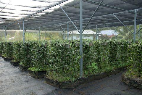 Vanilla Greenhouse Grow Vanilla Beans Vanilla Plant