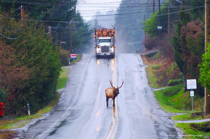 Elk on the main street of Youbou, Malcolm Chalmers Photography.  image source:  https://www.facebook.com/photo.php?fbid=800419380063582&set=a.113038778801649.14248.100002865822583&type=3&theater