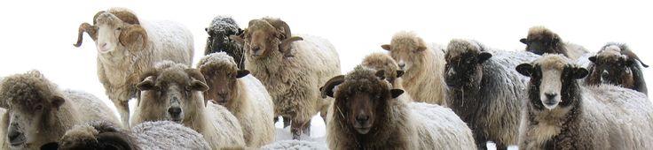 Navajo Churro sheep - winter