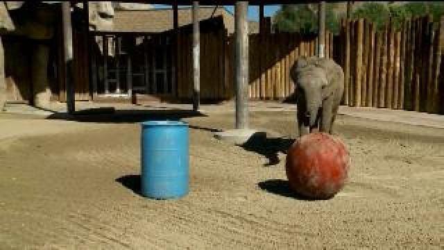 Hogle Zoo elephant makes BYU, Utah game day prediction