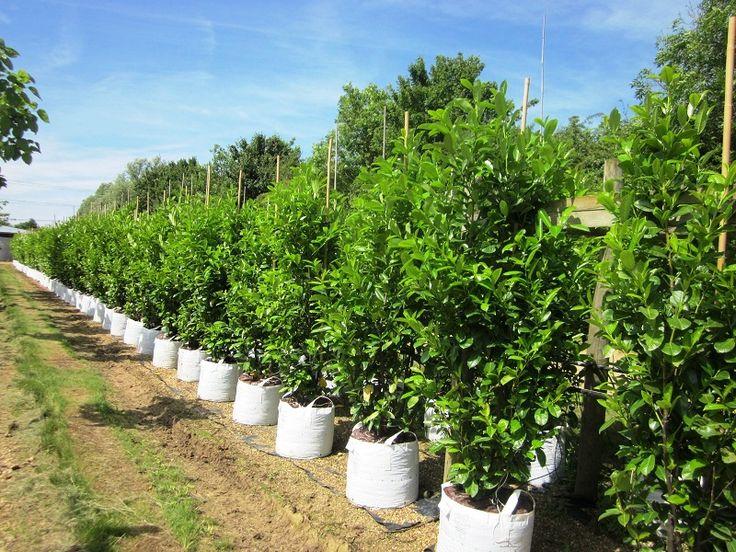 Cherry Laurel Bush, Common Cherry Laurel, Laurel - Barcham Trees