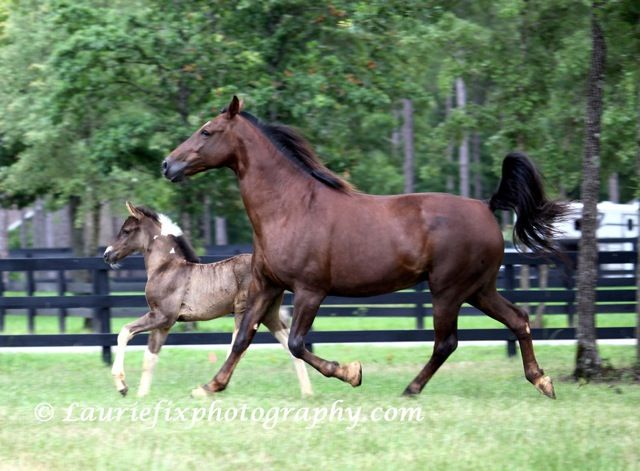 tennessee walking horse pictures | Tennessee Walking Horses - CLOUD 9 WALKERS (Tennessee Walking Horse ...