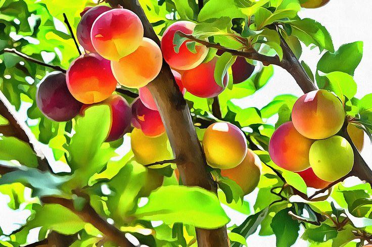 Plum tree. Batsi, Andros.