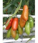 San Marzano Tomate Italiano: 20 Sementes