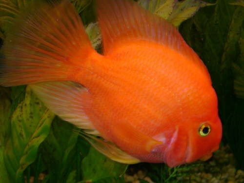 48 best fish images on pinterest for Parrot fish freshwater