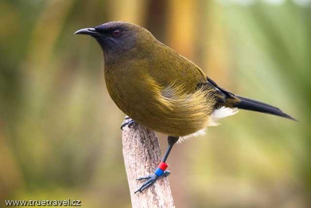bellbird, new zealand
