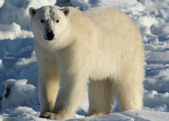 polar bears | Polar Bears Have Clear Hair, So Why Do They Look White? | Earth ...