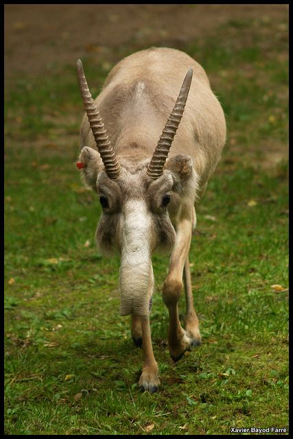 """The Saiga."" (Saiga tatarica.) On the verge of extinction: Commonly known as ""Saiga, Mongolian Saiga"" & ""Saiga Antelope."" Saiga tatarica, (Bovidae) is a very distinctive looking antelope; with a large, proboscis-like nose which hangs down over its mouth."