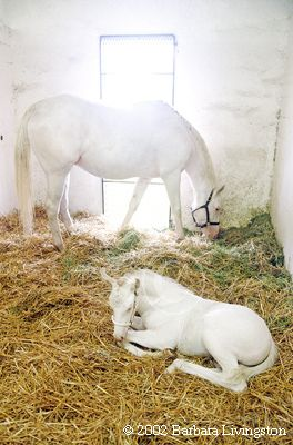 Goodbye to The White Fox -- 3rd generation white TB pictured as a foal with dam, Pachen Beauty