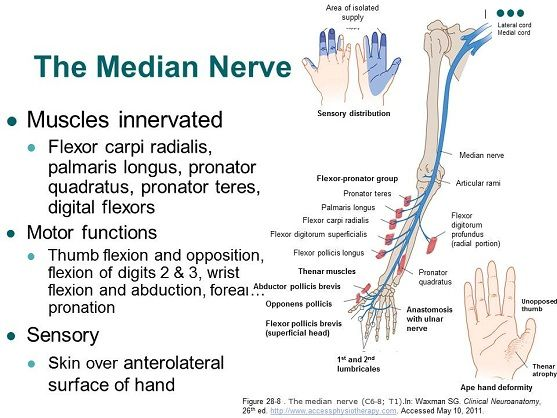 AccessPhysiotherapy - Brachial Plexus and Peripheral Nerves