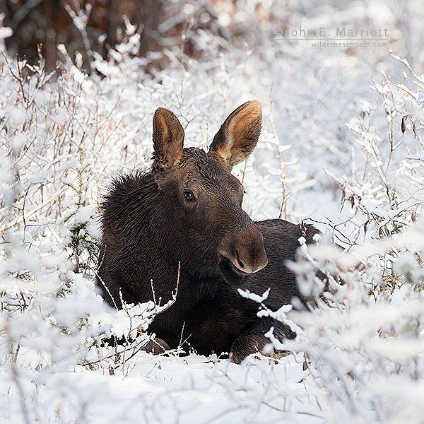 Canada moose - John E Marriott (@johnemarriott) on Instagra
