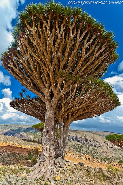 ~~Dragon's blood trees on #Dixam Plateau, #Socotra Island, #Yemen by anthony pappone photographer. http://reversehomesickness.com/asia/socotra-the-most-alien-place-on-earth/