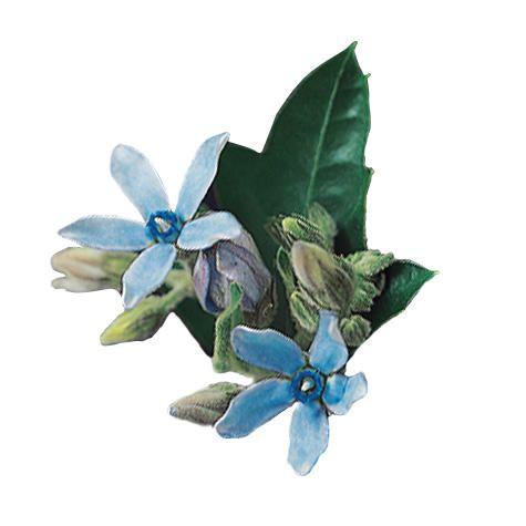 blue tweedia flowers - in season april - november