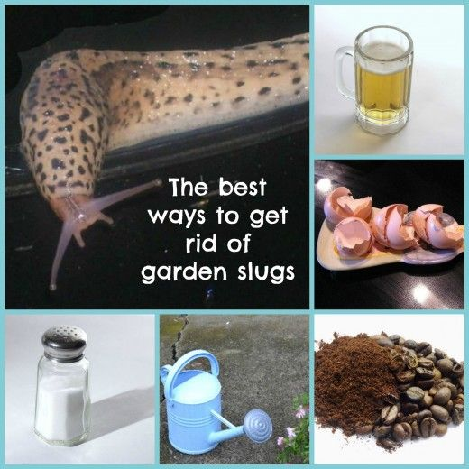 How to get rid of slugs in your garden...hate those slimy creatures!