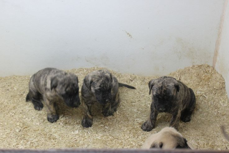 English Mastiff Puppies For Sale - This is 4 brindle english mastiff puppies for sale at http://www.network34.com/dogsbreed/english-mastiff-puppies-for-sale-pa-md-ny-nj-dc/