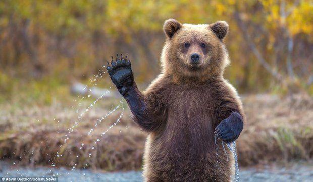 Un oso saludando, curiosa imagen captada por un fotógrafo atento.