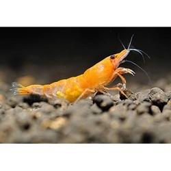 orange halo freshwater shrimp