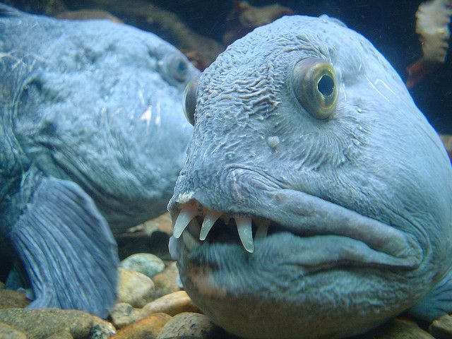 The Atlantic wolffish (Anarhichas lupus), an ocean fish found around Asia. Their bizarre appearance isn't all that sets them apart - they also produce a natural antifreeze to keep their blood moving in the cold waters they inhabit.