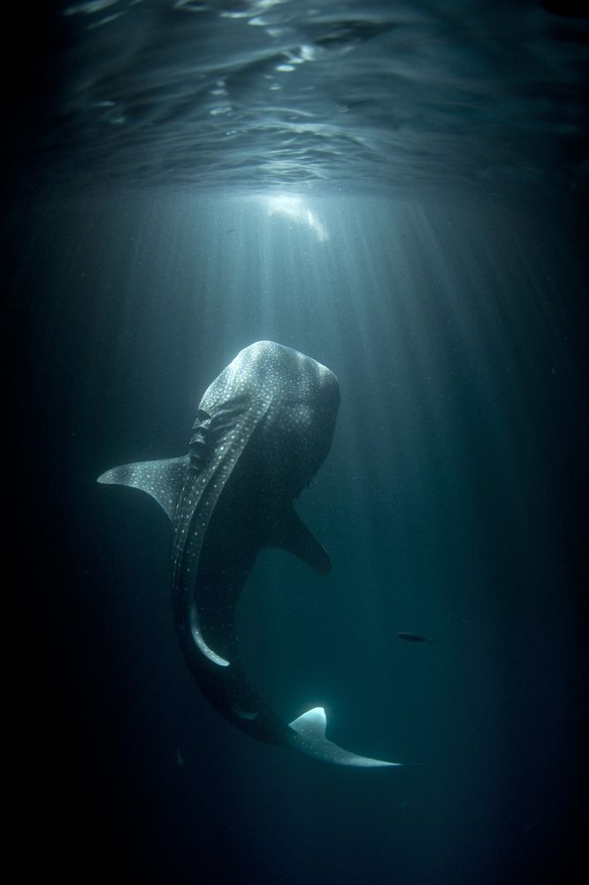 Stunning Photos Of Sharks And People Document A Vulnerable Species: Sea Life, Whales Sharks, Stunning Photos, Vulnerability Species, Sea Creatures, People Documents, Favorite Animal, Thomas Peschak, Deep Sea