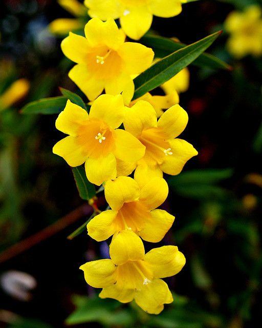 Carolina jasmine! Have this in my back yard! Love it!