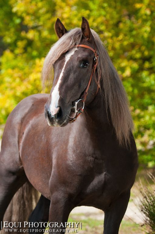 Beautiful Chocolate colored horse. - from Equine Photography
