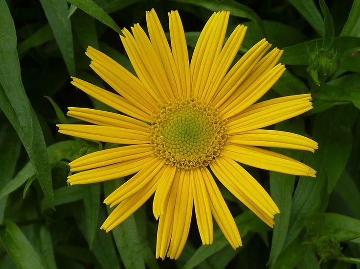File:Buphthalmum salicifolium J1.jpg