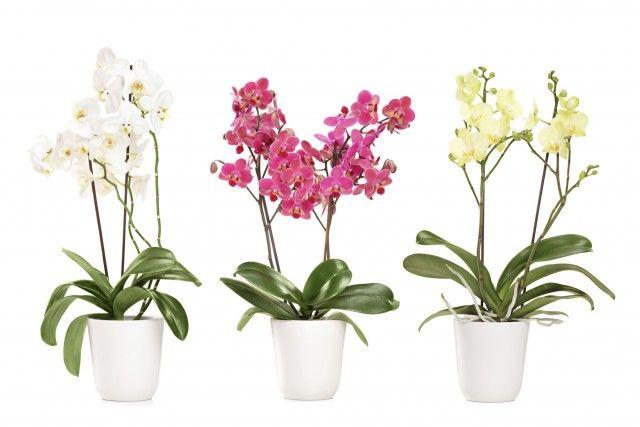 Come coltivare le orchidee in vaso: tutti i consigli utili
