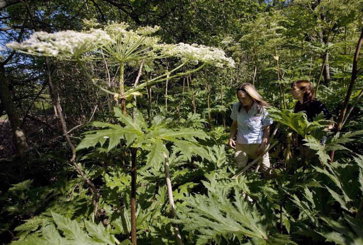 Giant hogweed plant that can cause burns and blindness spreading in Canada #gardening #garden #gardens #DIY #landscaping #home #horticulture #flowers #gardenchat #roses #nature