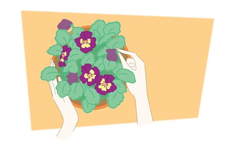 Amores-perfeitos são flores vivazes, de grande floração, com uma vida útil curta. Elas tendem a ser cultivadas como plantas anuais, porque o seu primeiro período de floração é muitas vezes o melhor. Compre os amores-perfeitos . Muitas vezes...