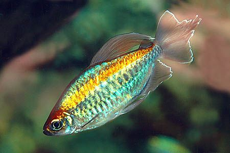 Phenacogrammus interruptus Congo Tetra; $4-12   Temperature: 73-82°F (23-28°C) pH: 6.0-7.5 Hardness: 3-18 dH
