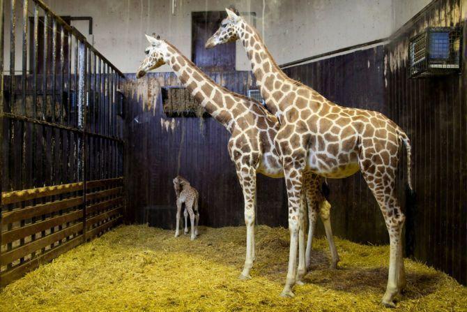 April The Giraffe Baby Name Release Date: Giraffe Cam Returns As ...