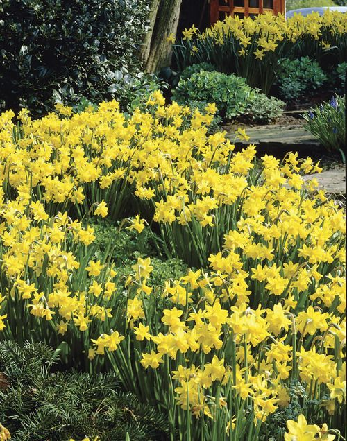 Tete-a-Tete Miniature Daffodils.  Flowers in March.