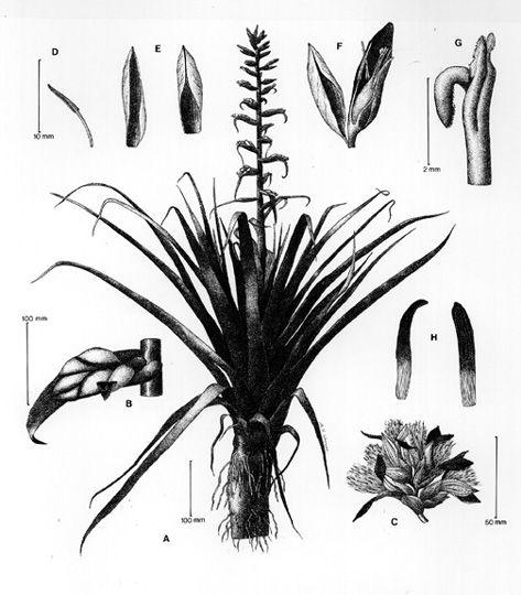 Les Broméliacées forment une famille de plantes monocotylédones, originaires majoritairement des régions tropicales d'Amérique, minoritairement des régions subtropicales d'Amérique et une espèce (Pitcairnia feliciana) originaire des régions tropicales d'Afrique de l'Ouest. Elle comporte entre 1 700 et 2 000 espèces regroupées en une cinquantaine de genres et entre 3 et 8 sous-familles.