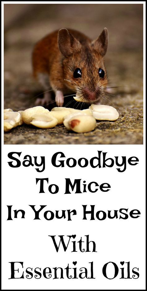 Peppermint Oil For Getting Rid Of Mice | Getting rid of ...