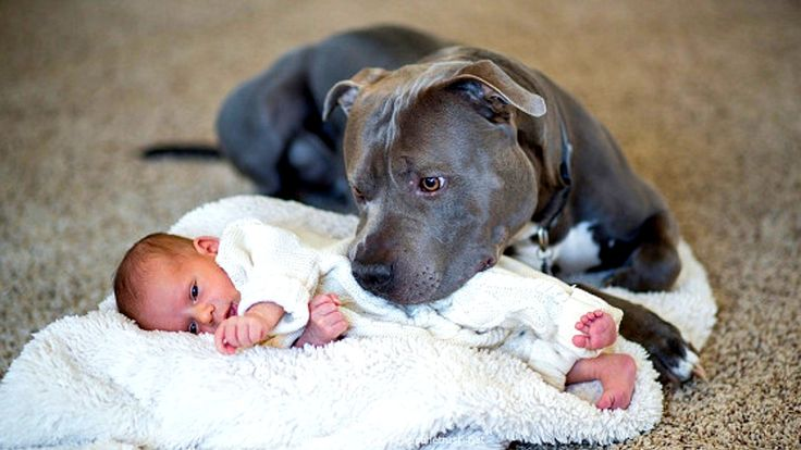 Tales of a pit bull in love