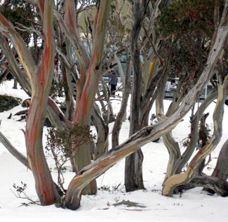 Snow gums in Kosciuszko National Park, such a beautiful sight.