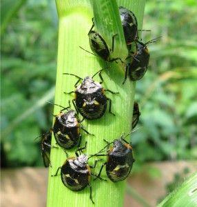 green_stink_bug_nymphs_canada_cindy