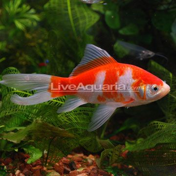 Sarasa comet koi pond pinterest comet goldfish and for Hardiest pond fish