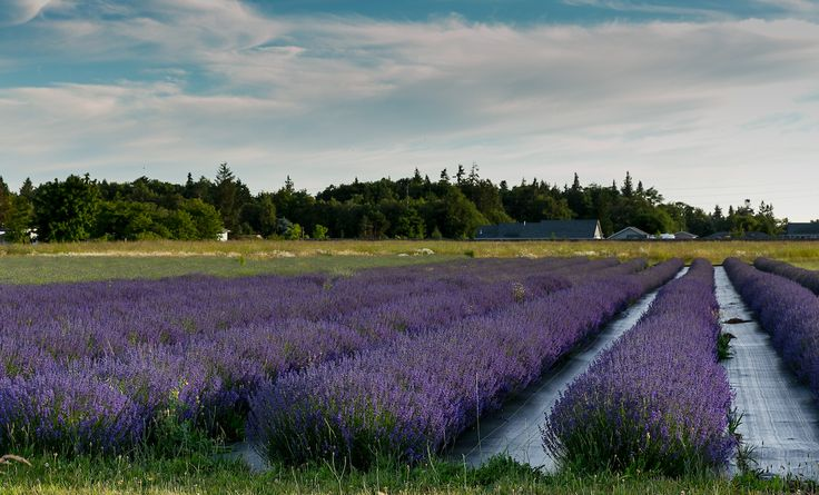 DID YOU KNOW: Due to our unique climate here in Sequim, Washington, (we're in the rain shadow of the Olympic Mountains and our annual rainfall is similar to Los Angeles, California - less than 16 inches per year!) our Lavender farms thrive. We're the Lavender Capital of North America and rivaled ONLY by France!