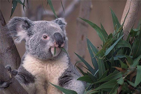 Отпечатки пальцев коалы неотличимы от отпечатков пальца человека даже под электронным микроскопом