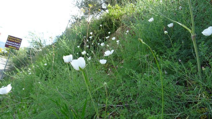 Λευκές ανεμώνες.