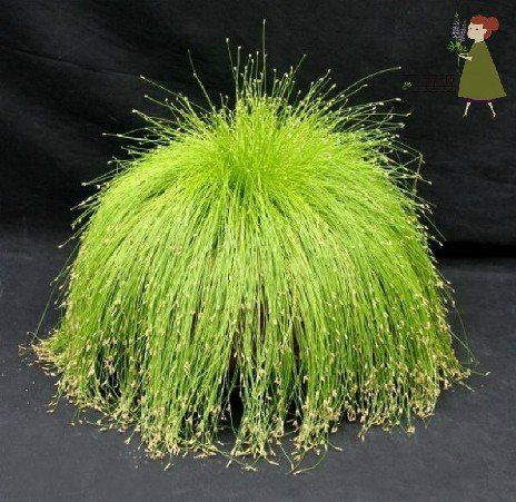 "Fiber Optic Grass (or as I would have named it, ""Cousin It Grass"") is a lovely ornamental grass to add to your landscaping."