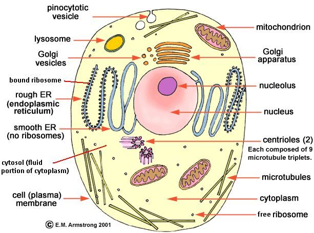 157 best 3D Cell Model Science Project images on Pinterest