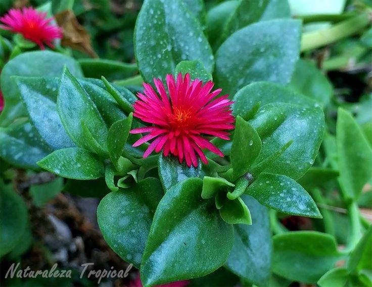 Suculenta florida los 365 días del año
