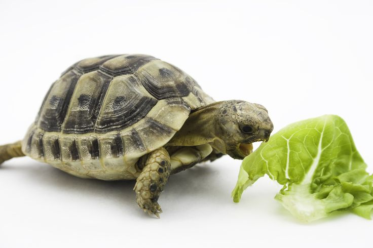 When you think of turtles, the first thing that comes to the mind is what do turtles eat and how long do turtles live. Turtles are one of the longest living animals in earth.