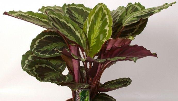 Die besten 25 zimmerpflanzen schattig ideen auf pinterest - Schattenpflanzen zimmer ...