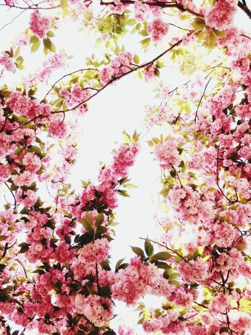 photomelissa:  Today! Cherry blossoms! Brooklyn Botanic Garden!